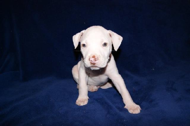 Perros pitbull bebés blancos - Imagui
