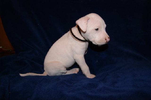 Pitbull bebé blanco - Imagui