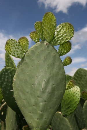 Nopal picture or image, the first spanish friars described it as a plant that grew leaves upon its leaves