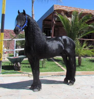 Imágenes De Venta De Caballos Frisones Frison Frisian ó En Atotonilco El Alto