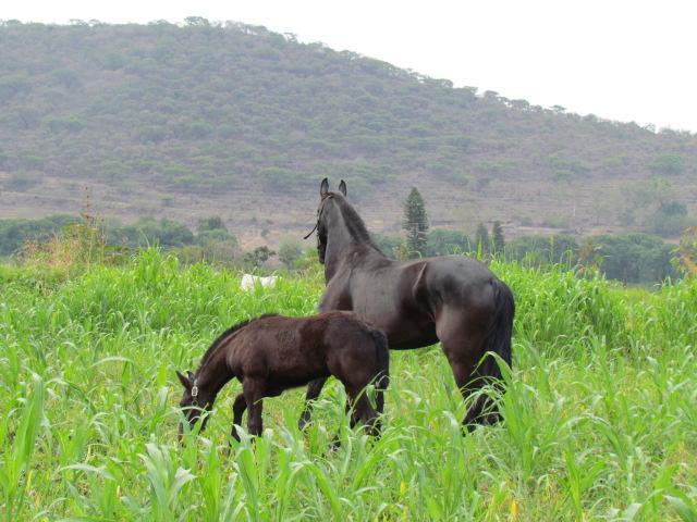 Venta de caballos potros yeguas y accesorios venta de for Accesorios para caballos