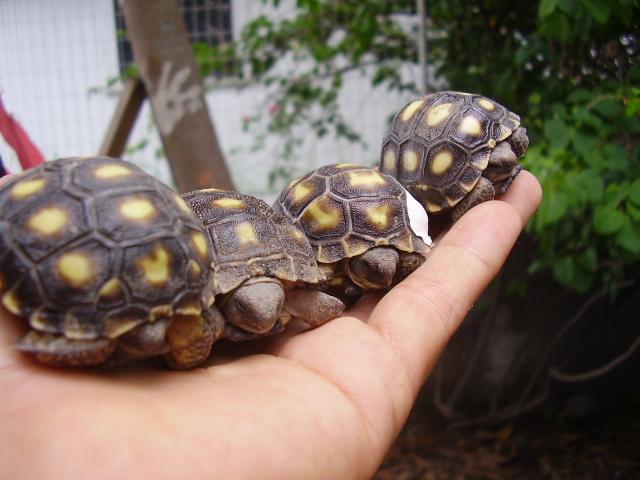 tortugas de tierra/gopherus
