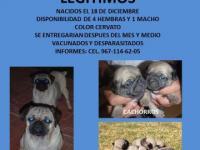 Download Imagenes Vendo Hermosos Cachorros Pitbull Terrier Atigrados